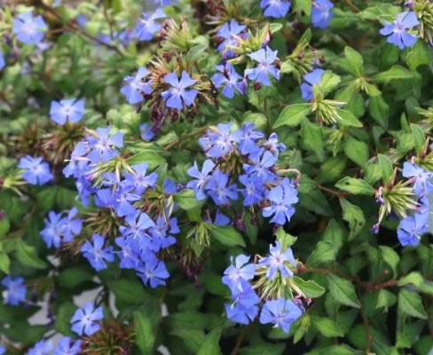 Ceratostigma Forest Blue