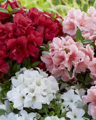 Rhododendron Encore® Pure White