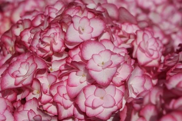 Hydrangea You&Me Miss Saori®