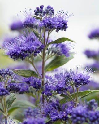 Caryopteris Grand Bleu®