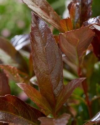 Viburnum Coppertop