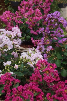 Lagerstroemia With Love Girl