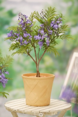 Jacaranda Bonsai Blue