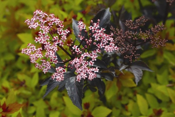 Sambucus Black Beauty