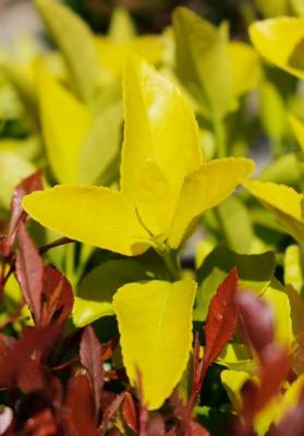 Euonymus El-Dorado