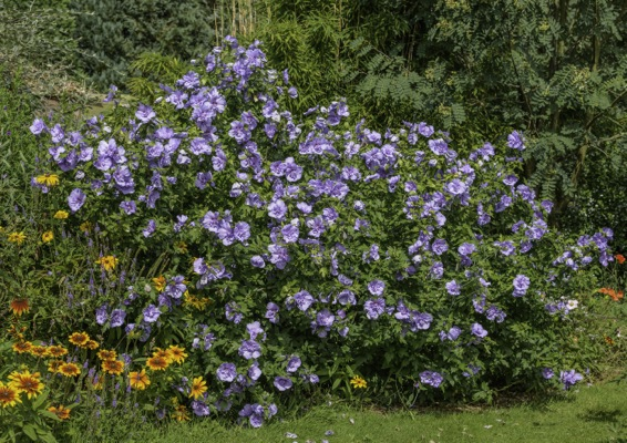 Hibiscus Blue Chiffon