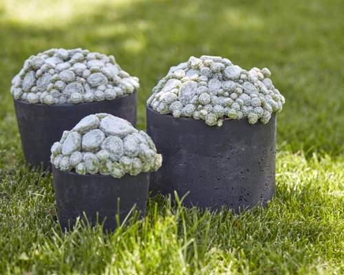 Sempervivum Arctic White