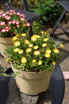 Delosperma Jewel of Desert Peridot