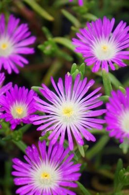 Delosperma Wheels of Wonder® Violet