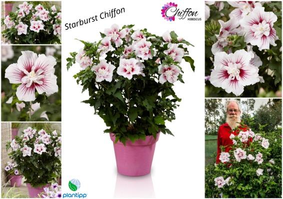Hibiscus Starburst Chiffon