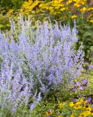 Perovskia Lacey Blue