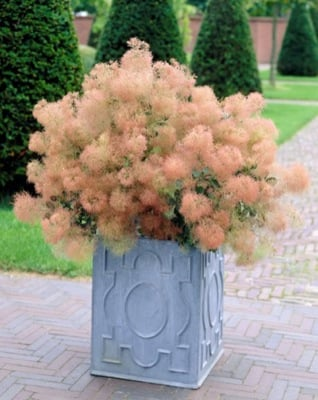 Cotinus Young Lady