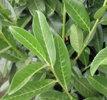 Prunus Genolia®