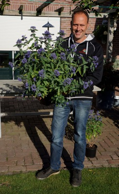 Caryopteris Blue Empire