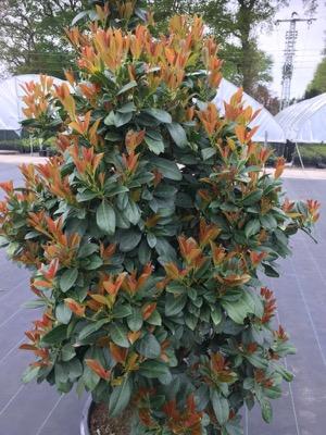 Prunus Bonaparte®