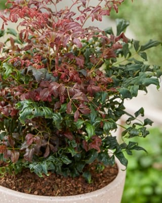 Nandina Curly Obsessed
