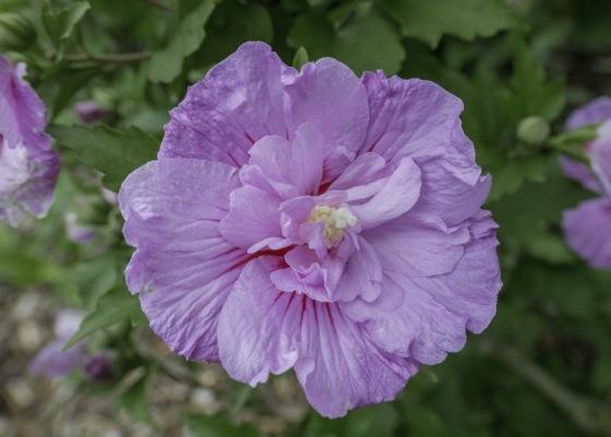 Hibiscus Lavender Chiffon