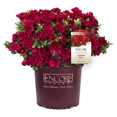 Rhododendron Encore® Autumn Fire
