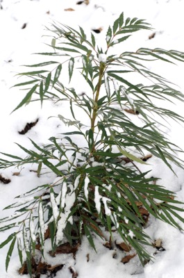 Mahonia Sweet Winter®