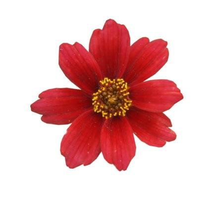 Coreopsis Twinklebells® Red