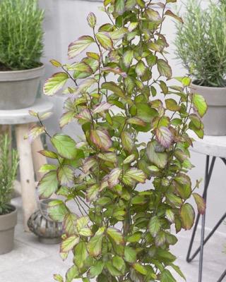 Parrotia Persian Spire