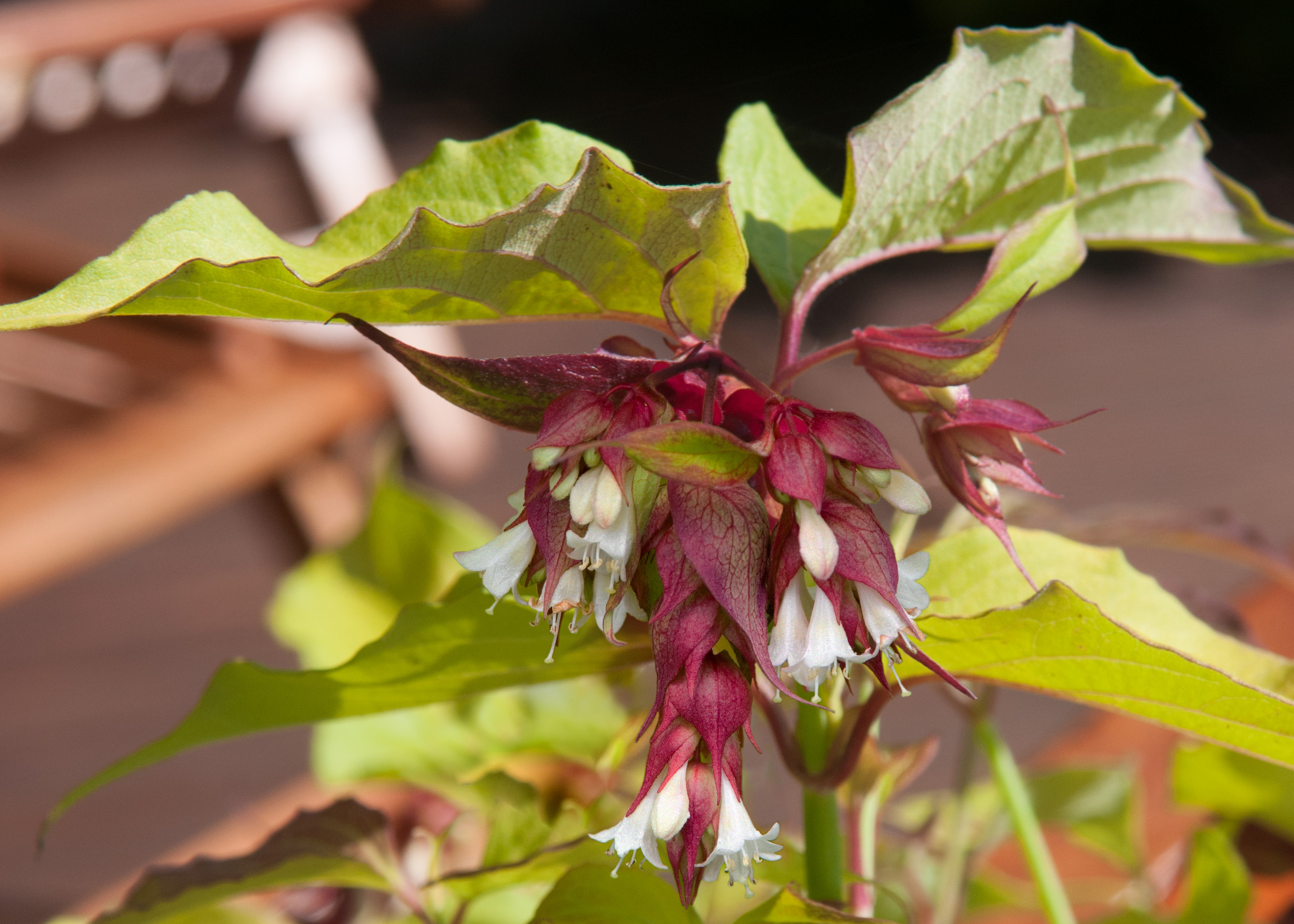 Leycesteria Little Lanterns