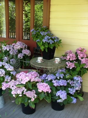 Hydrangea You&Me Forever