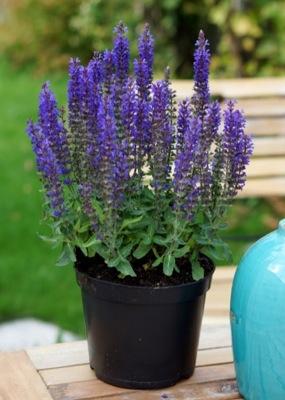Salvia Blue Bouquetta®