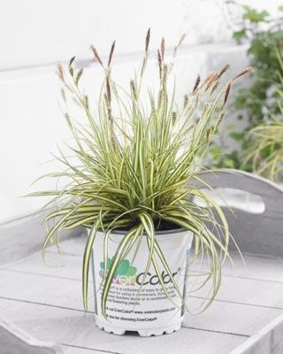 Carex EverColor® 'Everoro'