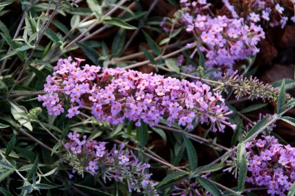 Buddleja Free Petite© Lavender Flow