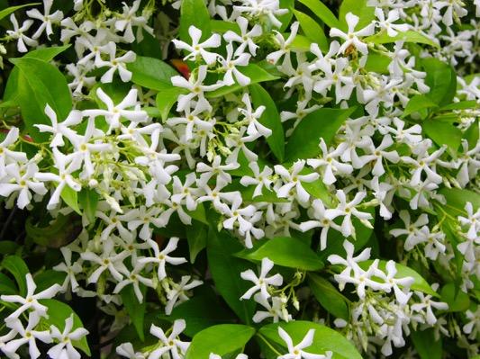 Trachelospermum Winter Ruby®