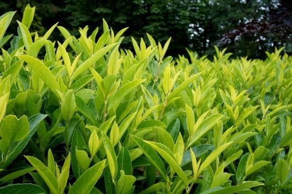 Prunus Goris Gold