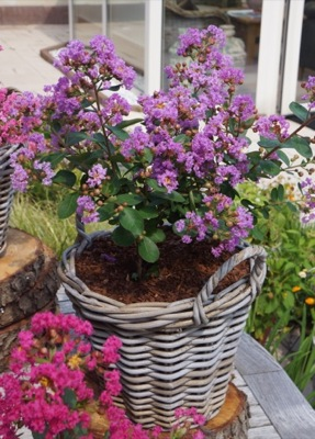 Lagerstroemia With Love Eternal