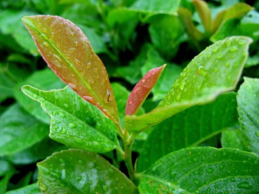Prunus Etna®