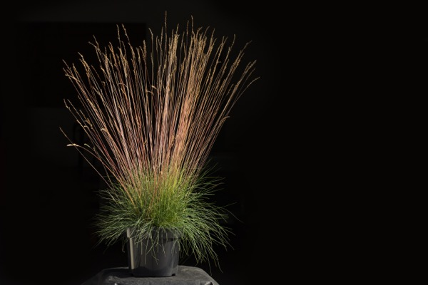 Festuca Sunrise