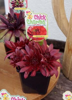 Sempervivum Chick Charms® Cherry Berry