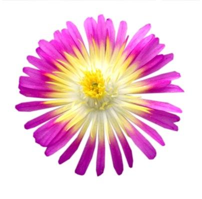 Delosperma Wheels of Wonder® Hot Pink