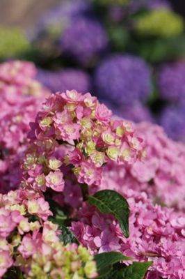 Hydrangea You&Me Together