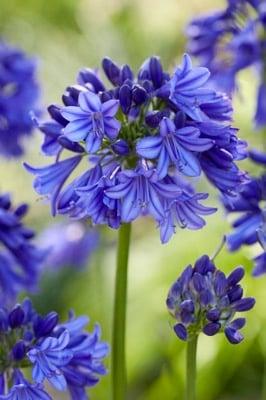 Agapanthus Everpanthus® Blue Thunder