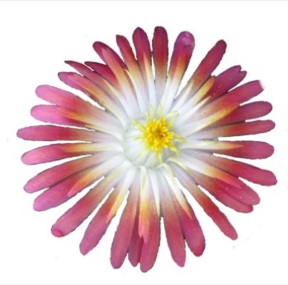Delosperma Jewel of Desert Ruby
