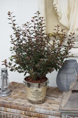 Physocarpus Little Joker
