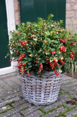 Vaccinium Miss Cherry®