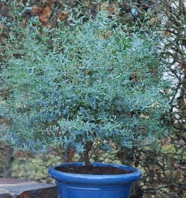 Eucalyptus France Bleu®