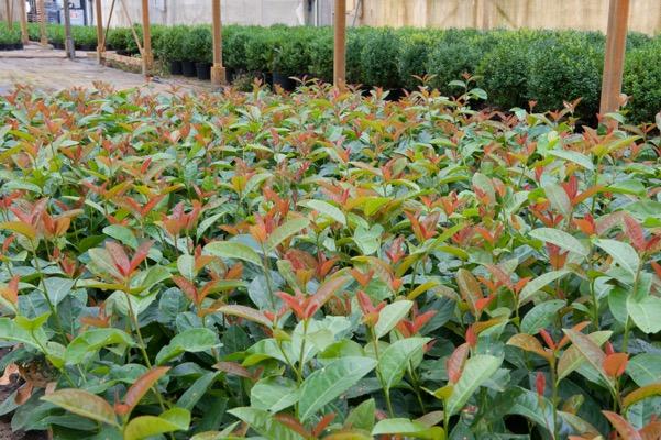 Prunus Copperbell