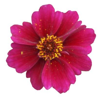 Coreopsis Twinklebells® Purple