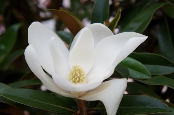 Magnolia Alta