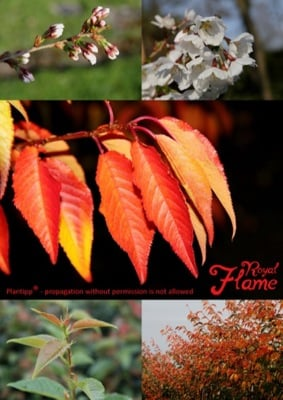 Prunus Royal Flame