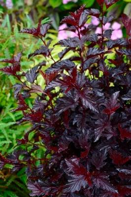 Physocarpus All Black