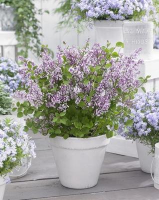 Syringa Flowerfesta® Purple
