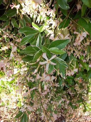 Trachelospermum Star of Milano